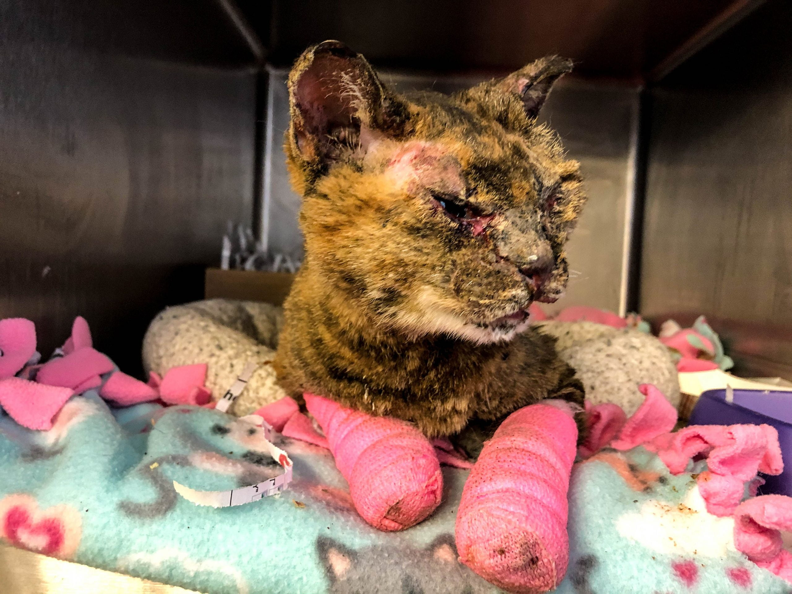 ARL Caring for Cat Found Severely Burned and Abandoned in Des Moines 4