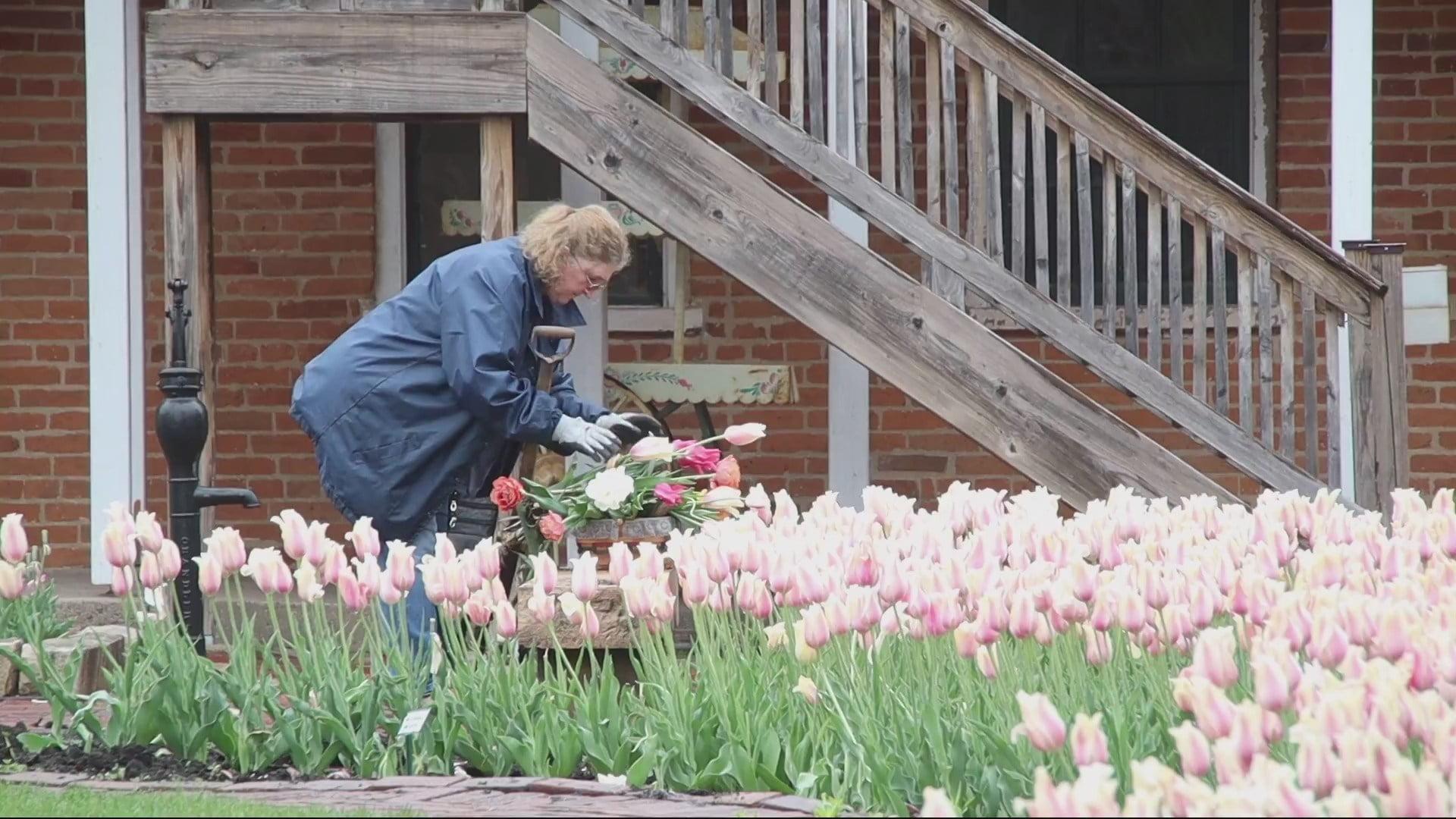 Digging the Tulips in Pella 5