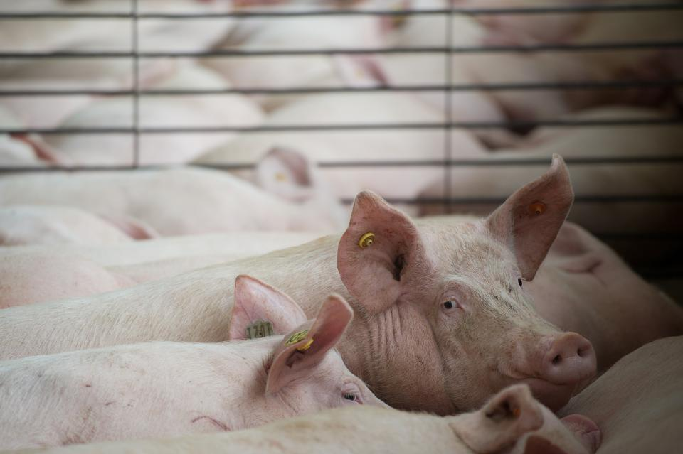 No Funding Available to Help Farmers Depopulate Hogs That Can't Make It to Processors 5