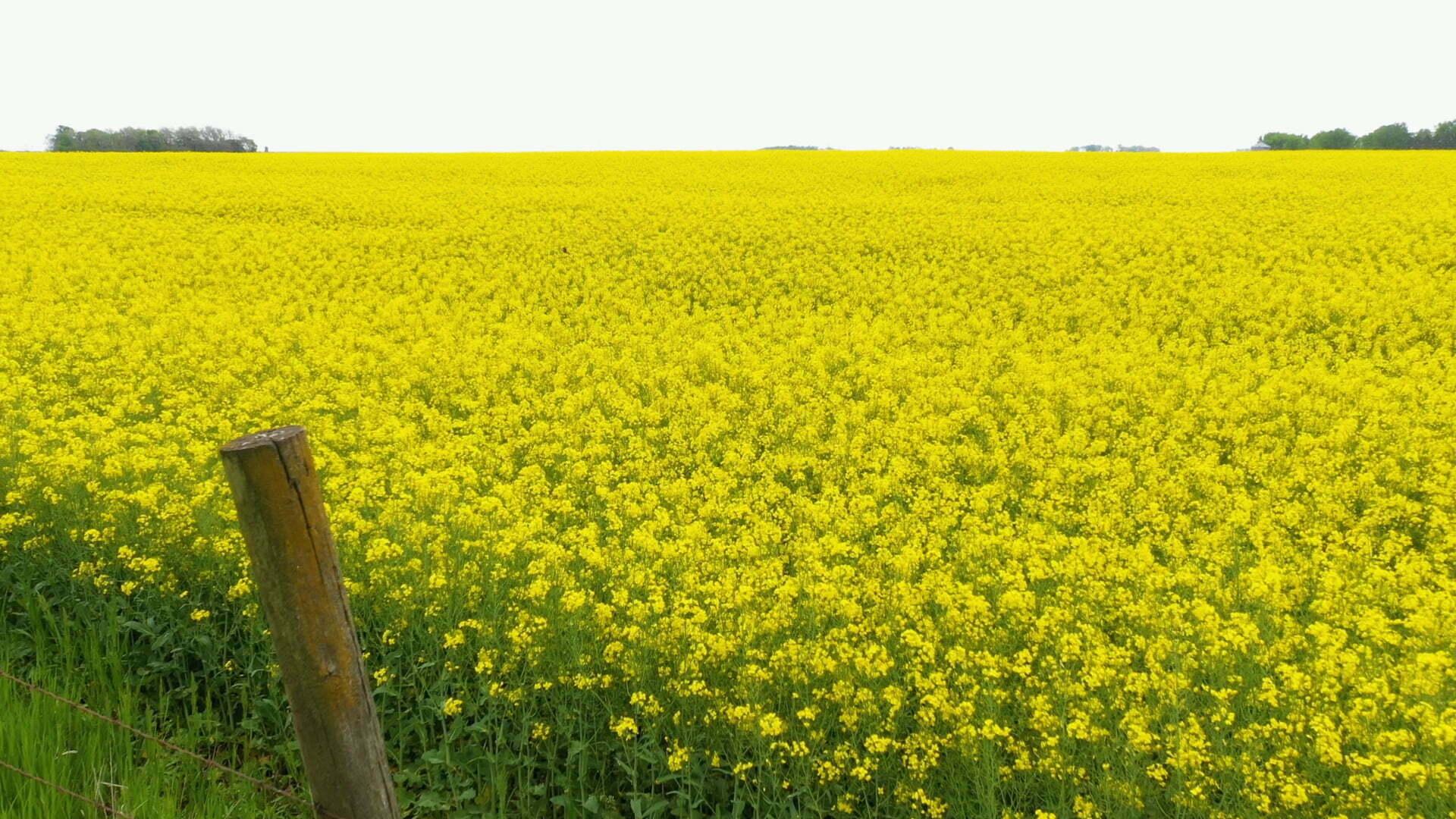 Unique Field Blooming Near Shipley 1