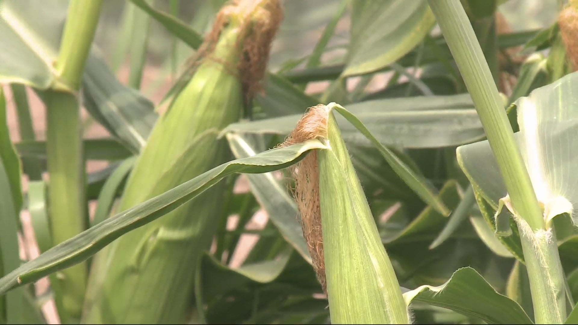 Sweet Corn Season Arrives in Central Iowa Just Ahead of Fourth of July 1